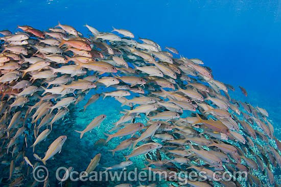 Schooling Yellow-stripe Goatfish (Mulloidichthys vanicolensis). Found throughout the Indo-West Pacific.