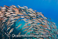 Schooling Yellow-striped Goatfish Photo - David Fleetham