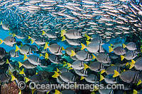 Schooling Black Striped Salema Photo - David Fleetham