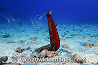 Sea Cucumber spawning Photo - David Fleetham