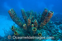 Yellow Tube Sponge Photo - David Fleetham