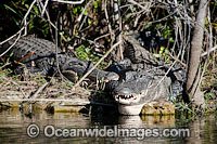 American Alligators Photo - David Fleetham