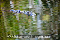 American Alligator swimming Photo - David Fleetham