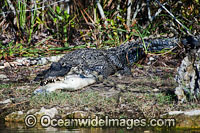 American Alligator eating fish Photo - David Fleetham