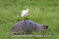 Egret on Galapagos Giant Tortoise Photo - David Fleetham