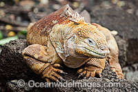 Galapagos Land Iguana Photo - David Fleetham
