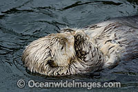 Southern Sea Otter Photo - David Fleetham