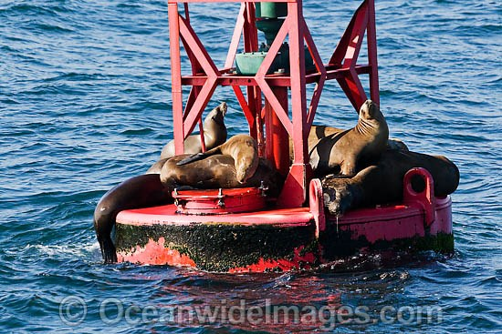 California Sea Lions (Zalophus californianus). Photo taken off Long Beach, California, USA. Photo - David Fleetham