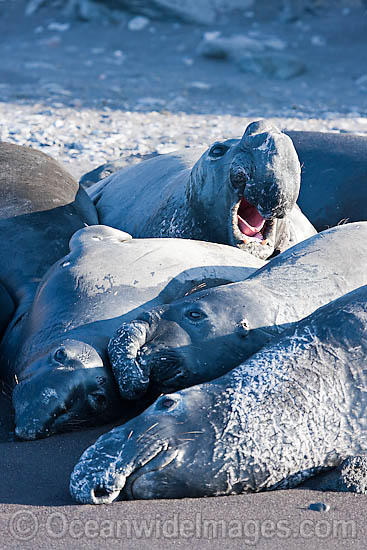 Northern Elephant Seal (Mirounga angustirostris), juvenile males resting on a beach. Also known as a Northern Elephant Seal. Guadalupe Island, Mexico, Eastern Pacific Ocean. Classified as a Threatened species on the IUCN Red List. Photo - David Fleetham
