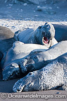 Northern Elephant Seal males