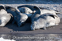 Northern Elephant Seal juveniles