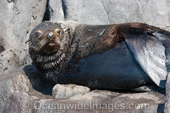 Guadalupe Fur Seal photo