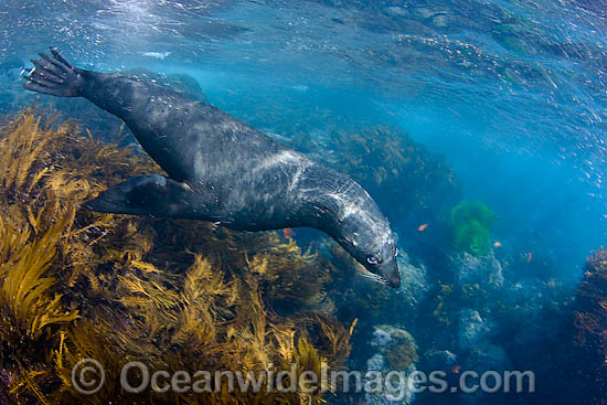 Guadalupe Fur Seal (Arctocephalus townsendi). Photographed in the shallows off Guadalupe Island, Mexico.