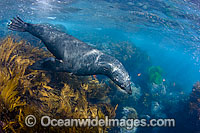 Guadalupe Fur Seal underwater Photo - David Fleetham