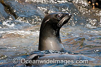 Guadalupe Fur Seal on surface Photo - David Fleetham