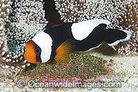 Panda Clownfish with eggs Photo - Gary Bell