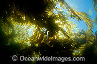 Sunlight in Giant Kelp Photo - David Fleetham