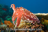 Broadclub Cuttlefish photo