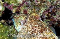 Cuttlefish laying eggs photo