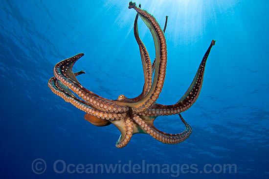 Css logo in addition octopus in water likewise ocean dream diamond