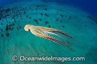 Day Octopus Photo - David Fleetham