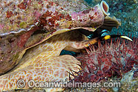 Triton Shell eating starfish Photo - David Fleetham