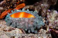 Mole Cowry Cypraea talpa Photo - David Fleetham