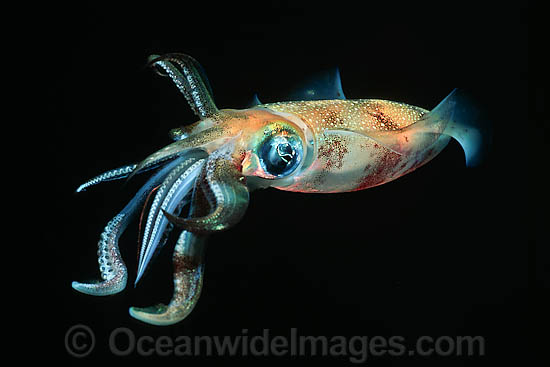 Bigfin Reef Squid (Sepioteuthis lessoniana). This Squid is often seen on coral reefs and seagrass beds. It is found throughout the tropical Indo-Pacific, from Hawaii to the Red Sea. Photo - David Fleetham