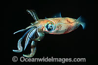 Bigfin Reef Squid Sepioteuthis lessoniana Photo - David Fleetham