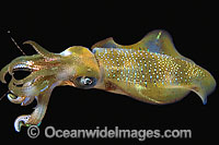 Bigfin Reef Squid Photo - David Fleetham