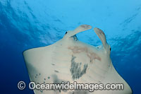 Manta Ray Photo - David Fleetham