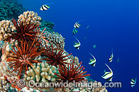 Moorish Idols and Coral Photo - David Fleetham
