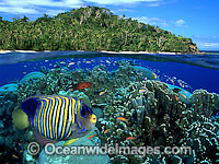 Angelfish and coral reef Photo - David Fleetham