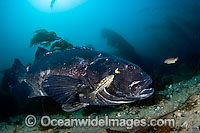 Giant Black Sea Bass Stereolepis gigas Photo - David Fleetham