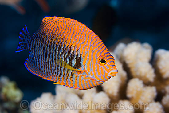 Potter's Angelfish (Centropyge potteri). This fish is endemic to the waters of Hawaii, Pacific Ocean, where this picture was taken. Photo - David Fleetham
