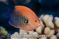 Potter's Angelfish Centropyge potteri photo