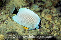 Masked Angelfish Genicanthus personatus photo