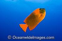 Clarion Angelfish Holacanthus clarionensis photo