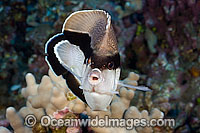 Bandit Angelfish Holacanthus arcuatus photo