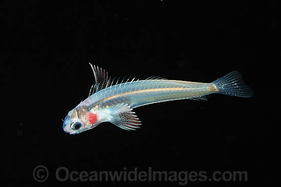 Larval Blenny (Cirripectes sp.). Photo taken off Hawaii, Pacific Ocean, off the Big Island of Hawaii, Pacific Ocean