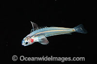 Larval Blenny photo