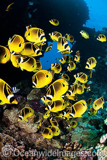 Schooling Raccoon Butterflyfish (Chaetodon lunula). Found throughout the Indo-West Pacific. Photo taken off Hawaii. Photo - David Fleetham