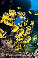 Raccoon Butterflyfish Chaetodon lunula photo
