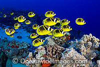 Raccoon Butterflyfish photo