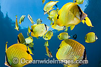 Milletseed Butterflyfish Chaetodon miliaris photo