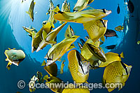 Schooling Milletseed Butterflyfish photo