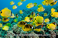 Schooling Milletseed Butterflyfish Photo - David Fleetham