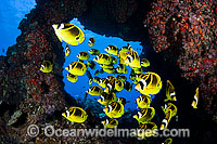 Schooling Raccoon Butterflyfish Photo - David Fleetham