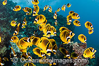 Raccoon Butterflyfish Photo - David Fleetham