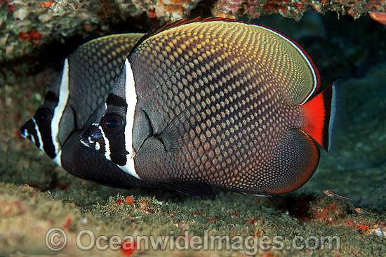 Red-tailed Butterflyfish (Chaetodon collare). Found throughout northern Indian Ocean, ranging east to Bali in Indonesia. Within the Coral Triangle. Photo - David Fleetham